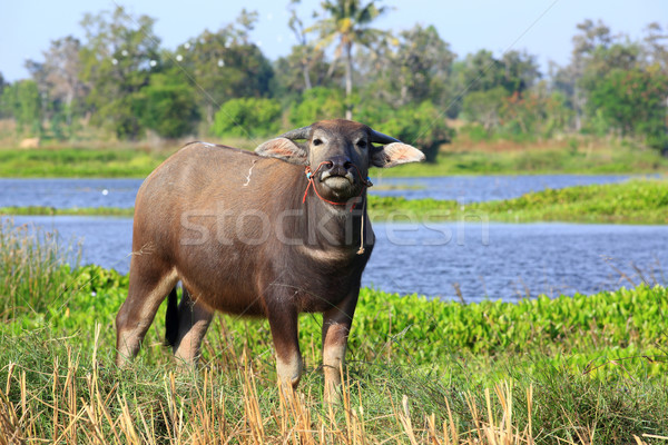buffalo Stock photo © lukchai