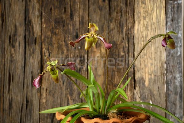 Foto stock: Orquídea · belo · orquídeas · Tailândia · flor · jardim