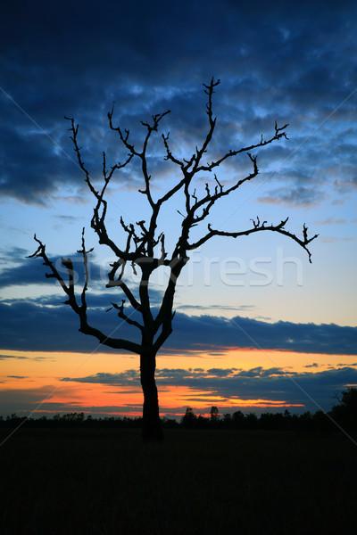 Cornfield sunset Stock photo © lukchai