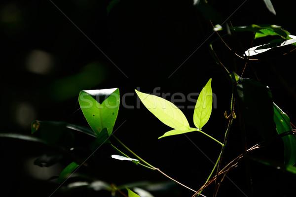 Folhas fresco folhas verdes verão planta vegetal Foto stock © lukchai