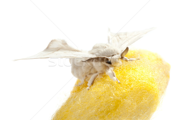 butterfly of silkworm over yellow cocoon on white Stock photo © lunamarina
