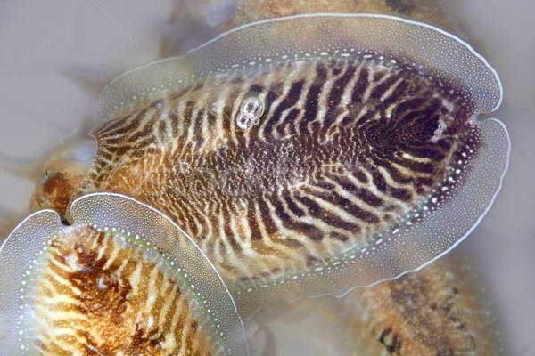 Cuttlefish uncooked a Mediterranean squid Stock photo © lunamarina