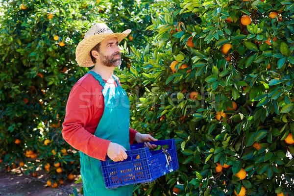 Gazda férfi aratás narancsok narancsfa mező Stock fotó © lunamarina