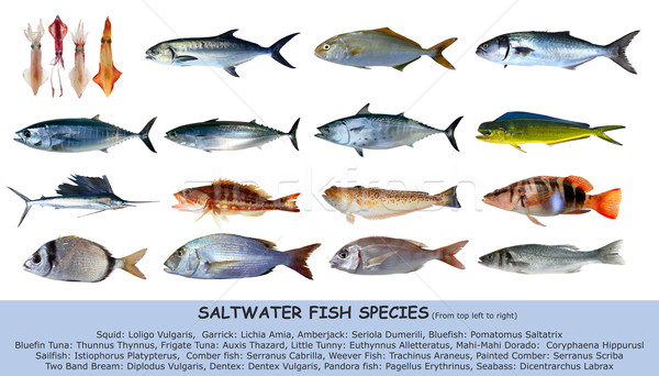 Fish species saltwater clasification isolated on white Stock photo © lunamarina