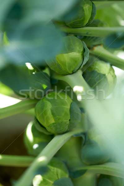 Brussels sprouts in a plant at orchard Stock photo © lunamarina