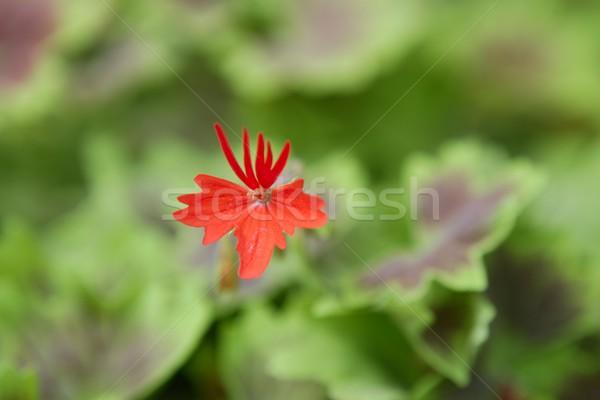 Geranium red flower with green leaves  Stock photo © lunamarina