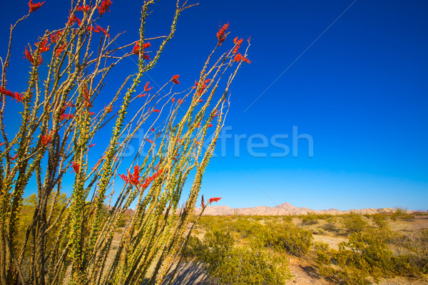 Ocotillo Fouquieria splendens red flowers in Mohave desert Stock photo © lunamarina