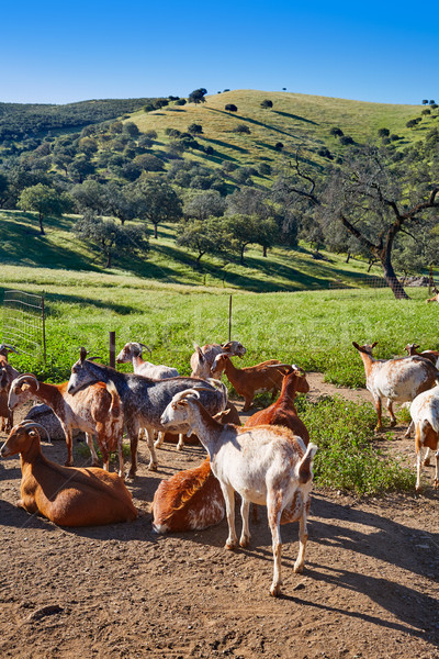 Via de la Plata way goats Sierra Norte Seville Stock photo © lunamarina