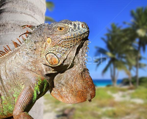 Mexicaanse leguaan tropische caribbean strand Stockfoto © lunamarina