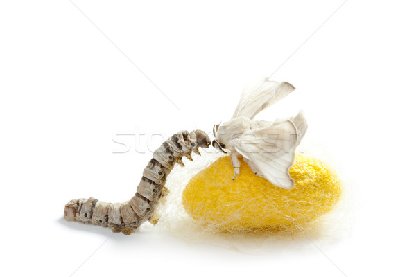 butterfly silkworm cocoon silk worm three stages Stock photo © lunamarina