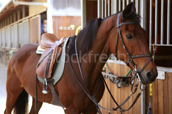 Stock photo: Brown horse  with saddle and reins