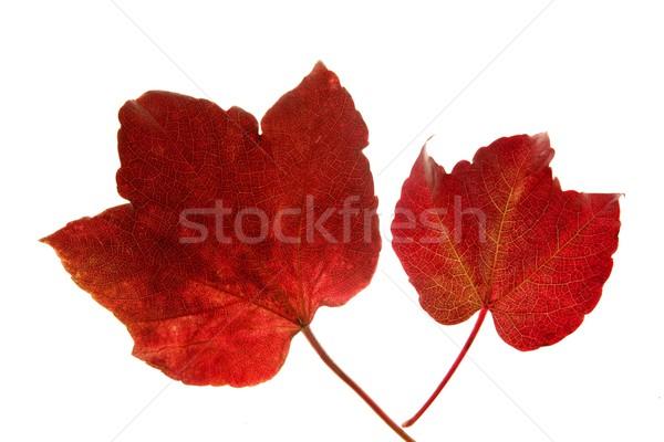 Сток-фото: осень · осень · листьев · декоративный · студию · белый