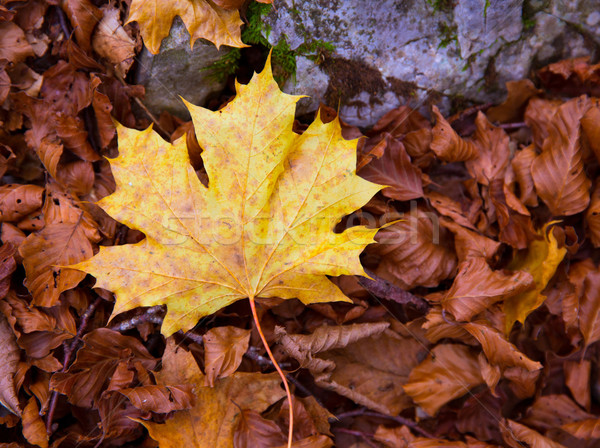 Autum alamo yellow leaf in a beech forest Pyrenees Ordesa Stock photo © lunamarina