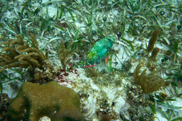 Parrotfish fish in Great Mayan Reef  Stock photo © lunamarina