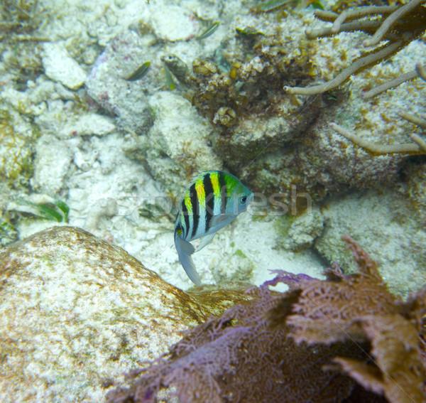 Sergeant major fish in Great Mayan Reef Stock photo © lunamarina