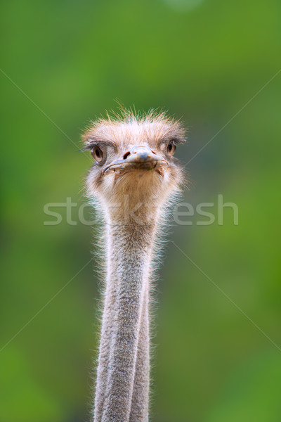 ostrich bird head and neck front portrait Stock photo © lunamarina