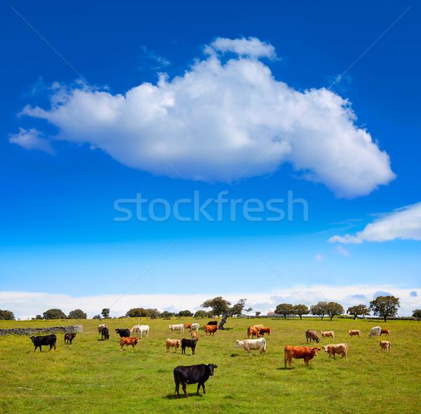 Vaches bovins Espagne la façon nature Photo stock © lunamarina