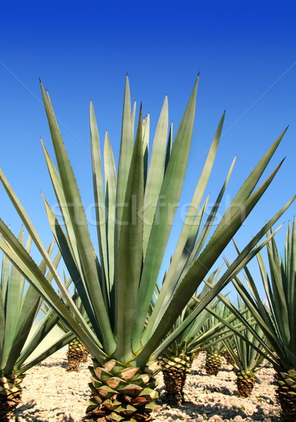 Agave usine mexican tequila ciel Photo stock © lunamarina