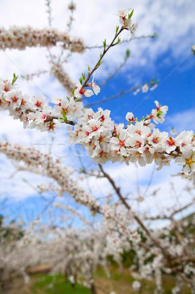 Spring almond tree flowers in Sierra de Espadan Castellon Stock photo © lunamarina