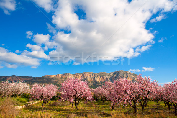 Mongo in Denia Javea in spring with almond tree flowers Stock photo © lunamarina