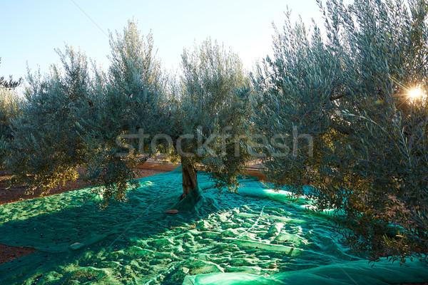 Olajbogyók aratás szőlőszüret net mediterrán olajbogyó Stock fotó © lunamarina