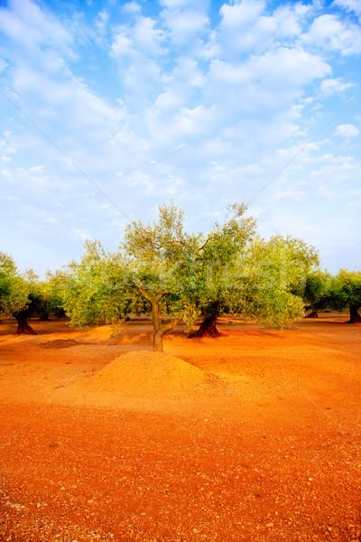 Foto d'archivio: Olivo · campi · rosso · suolo · Spagna · cielo · blu