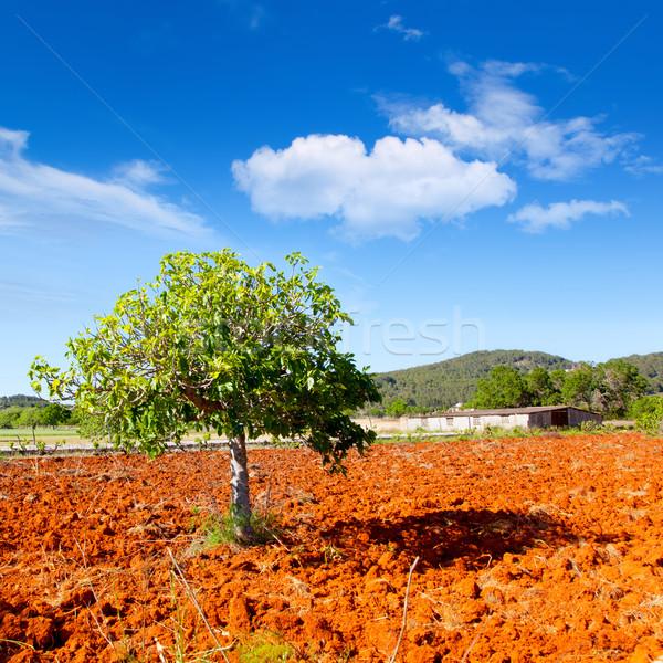 Ibiza mediterranean agriculture with fig tree Stock photo © lunamarina