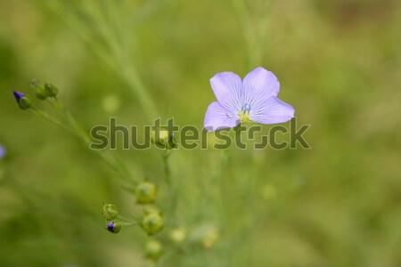 Család vadvirág virág virágok tavasz fű Stock fotó © lunamarina