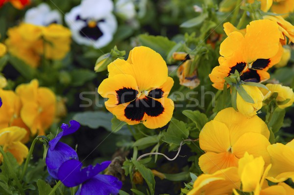 Beautiful Viola x Wittrokiana pansy flowers  garden Stock photo © lunamarina