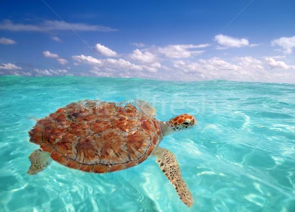 Verde mare tartaruga Caraibi superficie dell'acqua acqua Foto d'archivio © lunamarina