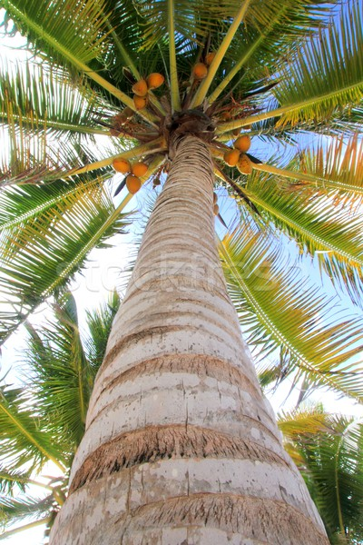 Coconuts palm tree perspective view from floor Stock photo © lunamarina