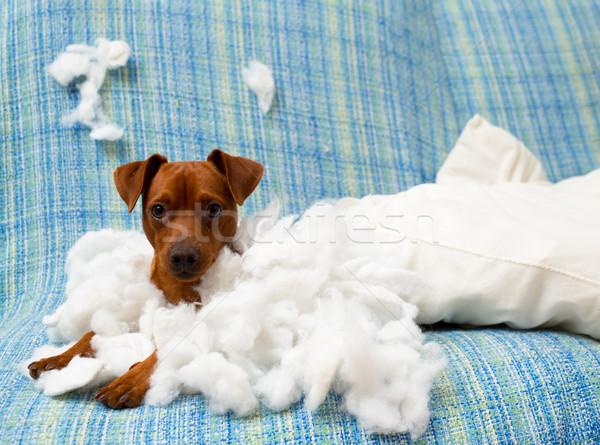 naughty playful puppy dog after biting a pillow Stock photo © lunamarina