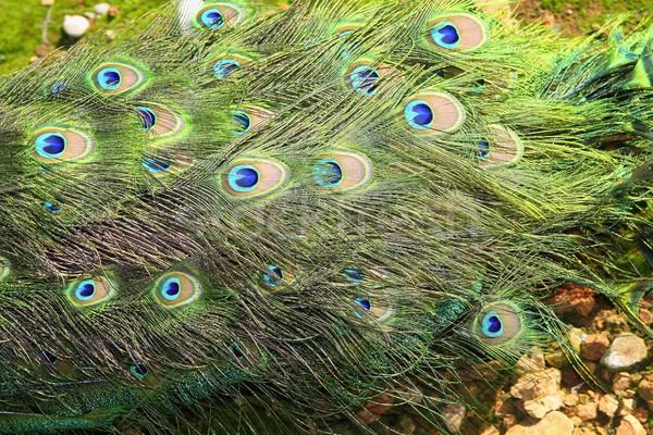 павлин Турция хвост красочный зеленый подробность Сток-фото © lunamarina