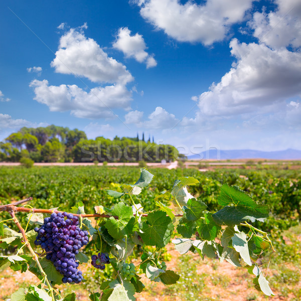 bobal wine grapes ready for harvest in Mediterranean Stock photo © lunamarina