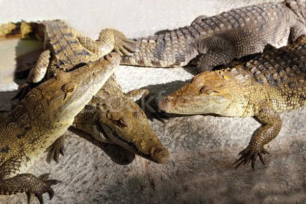 Крокодилы солнце ванны Южной Америке центральный зеленый Сток-фото © lunamarina