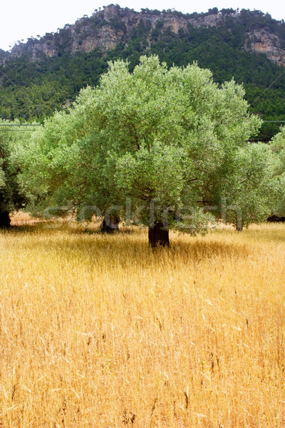 Agriculture from mediterranean Majorca wheat with olive Stock photo © lunamarina