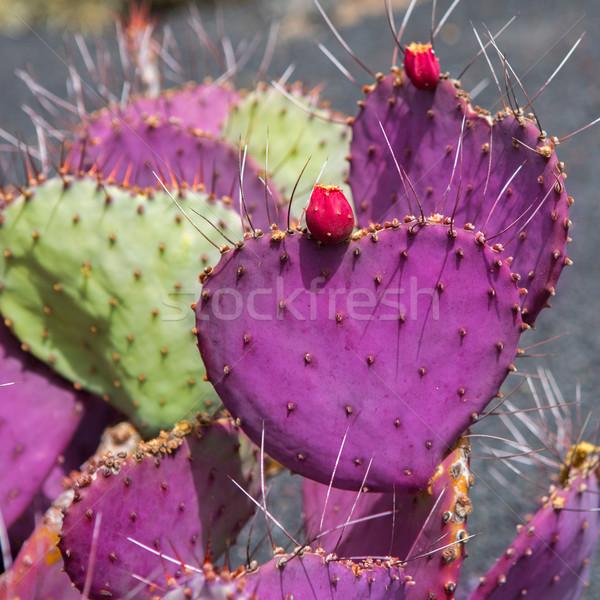 Lanzarote Guatiza cactus garden Opuntia Macrocentra Stock photo © lunamarina
