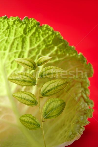 growing inside a cabbage leaf Stock photo © lunamarina