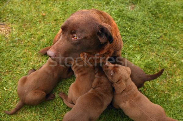 Brown Labrador Retriever dog litter of pups Stock photo © lunamarina