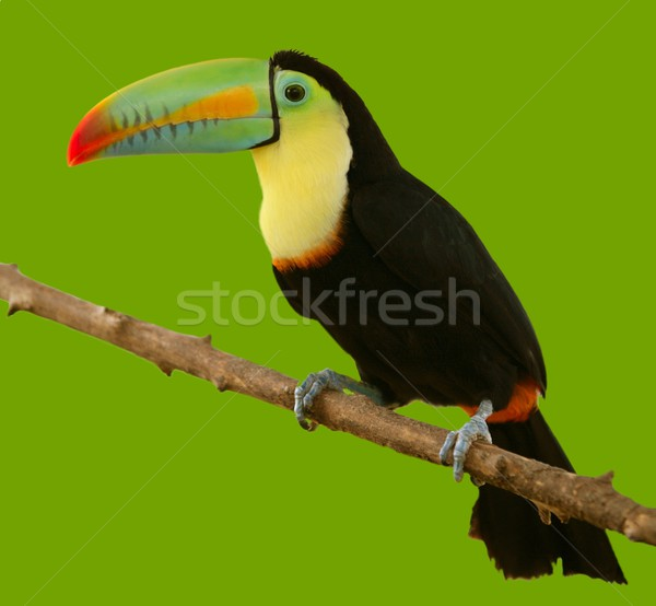 Güney amerika renkli kuş yeşil yaprak arka plan Stok fotoğraf © lunamarina