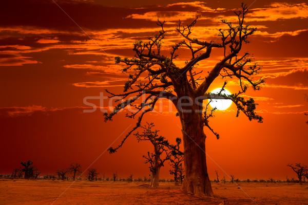 Africa sunset in Baobab trees colorful Stock photo © lunamarina