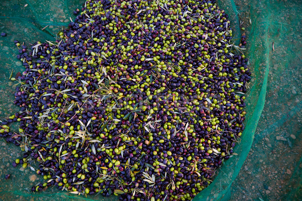 Olives texture in harvest with net Stock photo © lunamarina