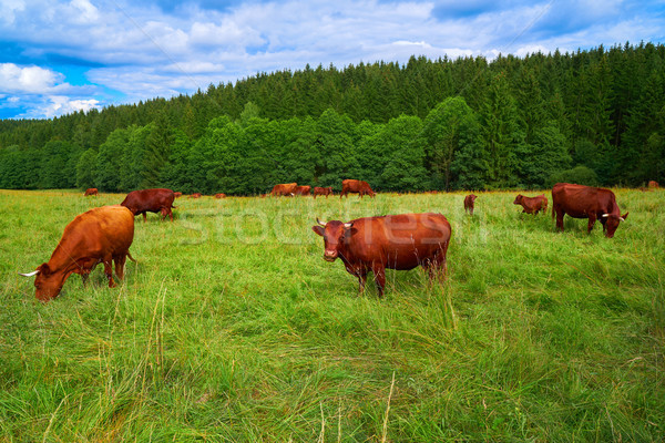 Cow cattle in Harz forest of Germany Stock photo © lunamarina