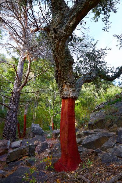 Cortiça árvores árvore floresta comunidade Espanha Foto stock © lunamarina