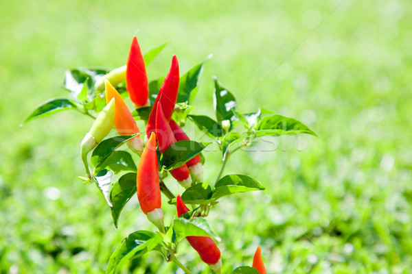 chili hot peppers plant in red and orange Stock photo © lunamarina