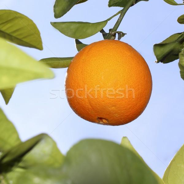 Narancsok gyümölcs narancsfa égbolt fa egészség Stock fotó © lunamarina