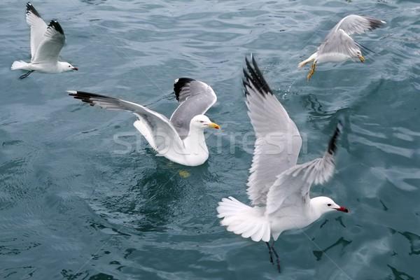 active sea gulls seagulls over blue sea ocean Stock photo © lunamarina