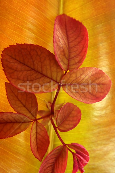 Autumn, fall leaves decorative still at studio white background Stock photo © lunamarina