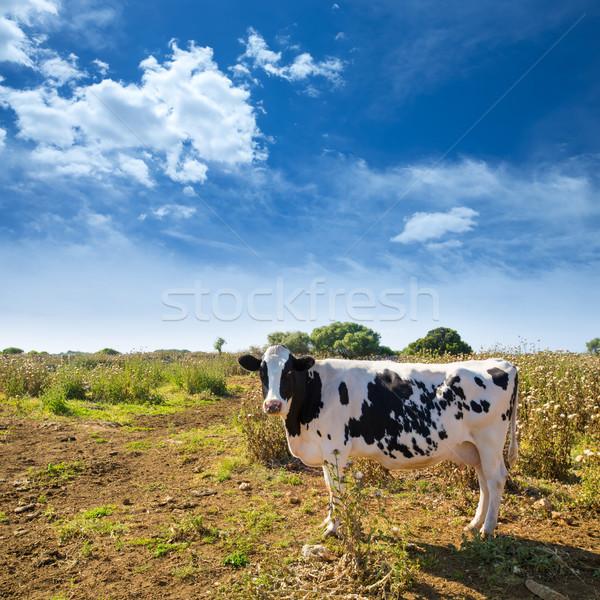 Menorca friesian cow grazing near Ciutadella Balearic Stock photo © lunamarina