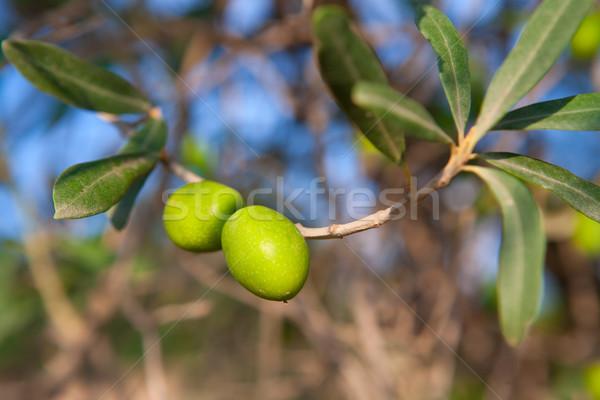 Olijfboom twee olijven tak bladeren vruchten Stockfoto © lunamarina